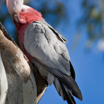 Galah Cockatoo5
