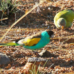 Hooded Parrot Parakeet