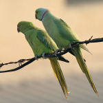 Indian Ring Necked Parrot