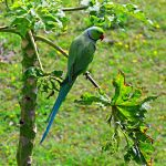 Indian Ring Necked Parrot3