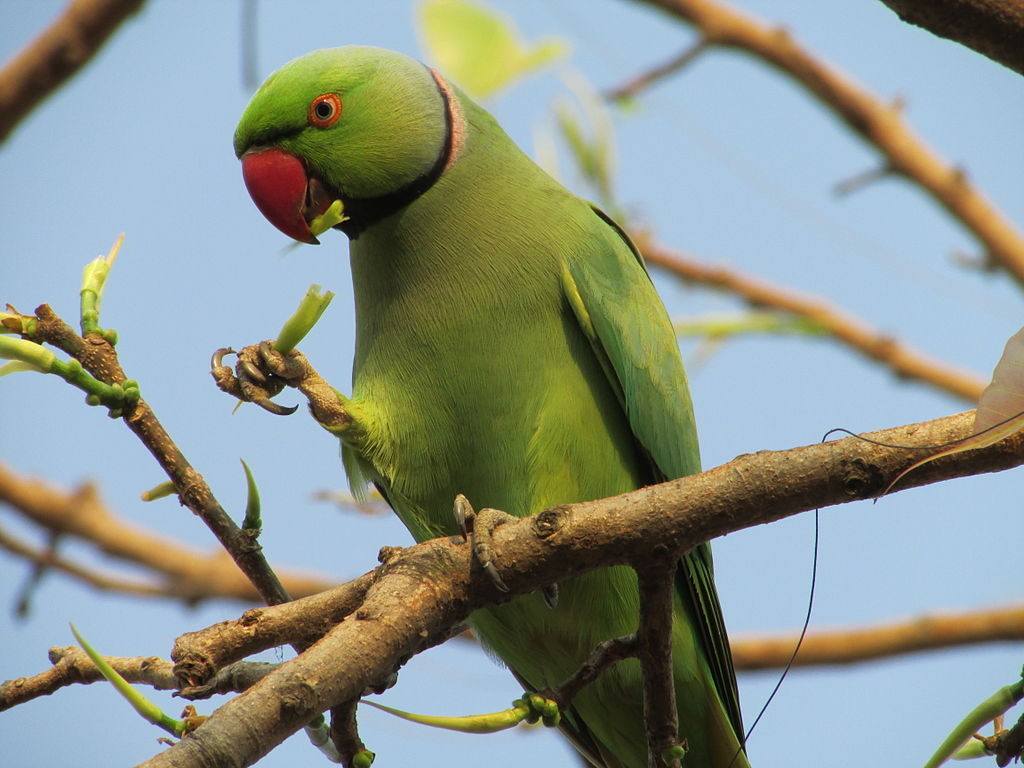 Indian Ring Necked Parrot4