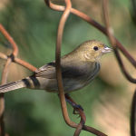 Jacarini Finch-Blue-black Grassquit2