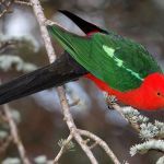 King Parrot Parakeet