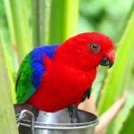 King Parrot Parakeet2