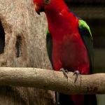 King Parrot Parakeet3
