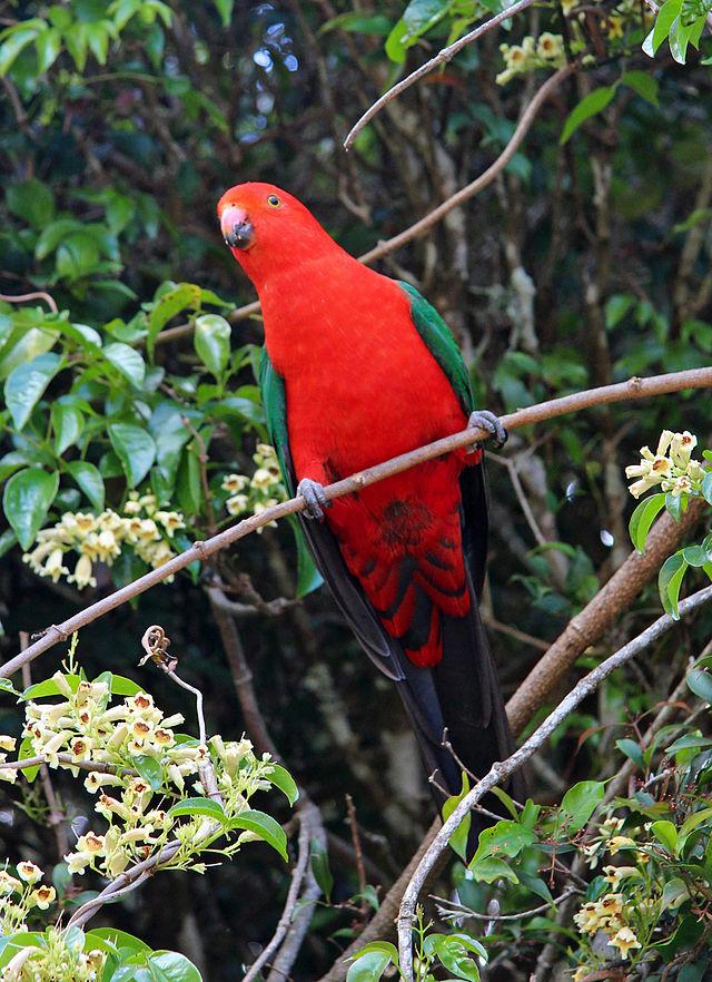 King Parrot Parakeet4