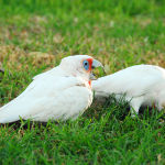 Long-billed Corella2