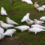 Long-billed Corella4