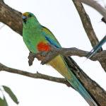 Mulga Parrot Parakeet