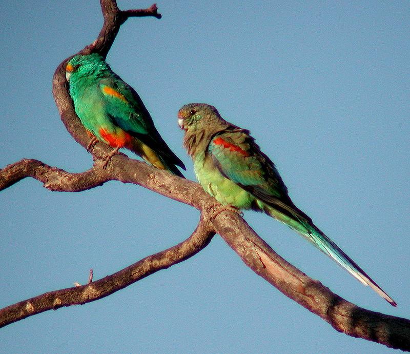 Mulga Parrot Parakeet2