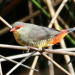 Orange Breast Finch2