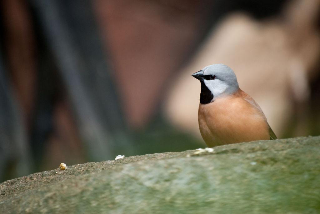 Parson Finch