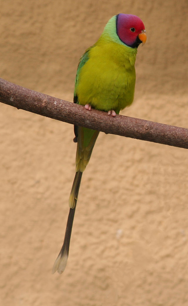 Plum headed parrot