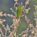 Plum headed parrot2