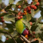 Plum headed parrot3