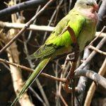 Princess Parrot Parakeet