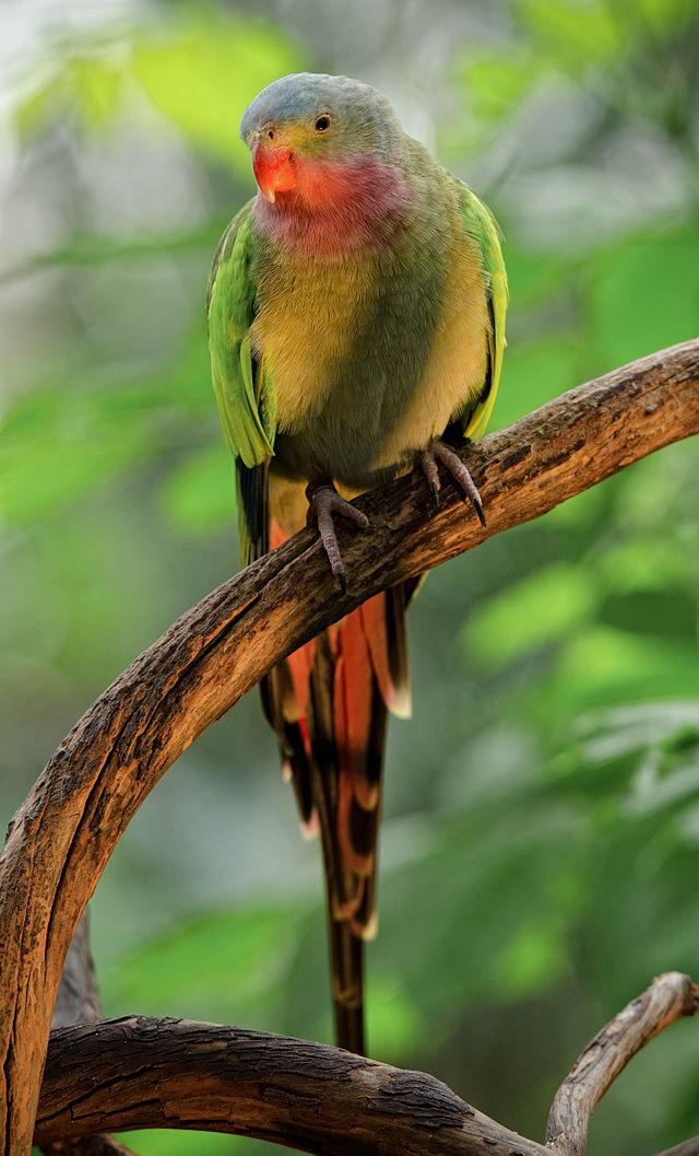 Princess Parrot Parakeet2