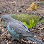 Princess Parrot Parakeet3