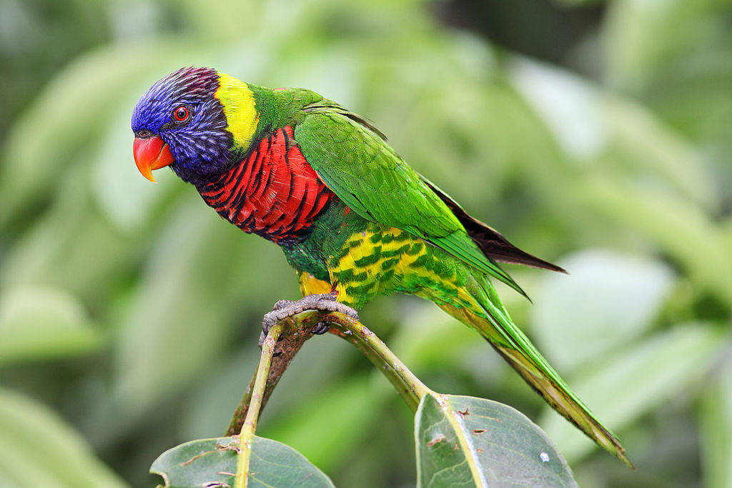 Rainbow Lory Lorikeet
