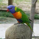 Rainbow Lory Lorikeet2