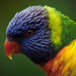 Rainbow Lory Lorikeet4