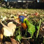 Rainbow Lory Lorikeet8