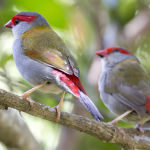 Red Browed Finch2