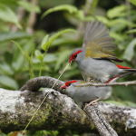Red Browed Finch3