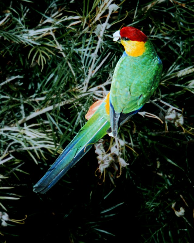 Red Capped Parrot Parakeet