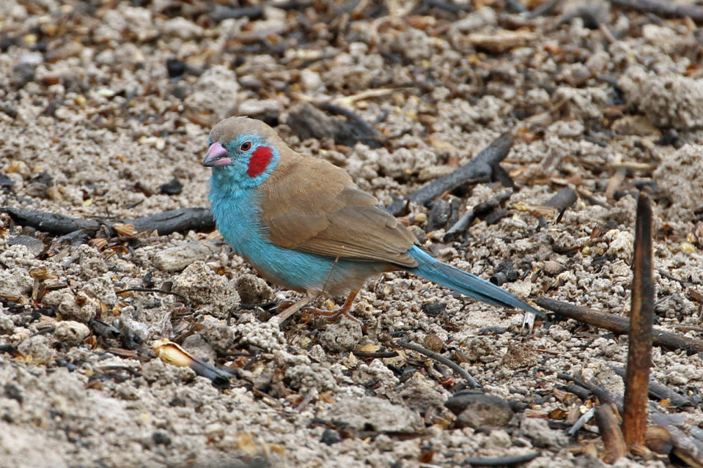 Red-Cheeked Cordon-Bleu Finch