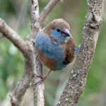 Red-Cheeked Cordon-Bleu Finch2
