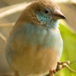 Red-Cheeked Cordon-Bleu Finch3