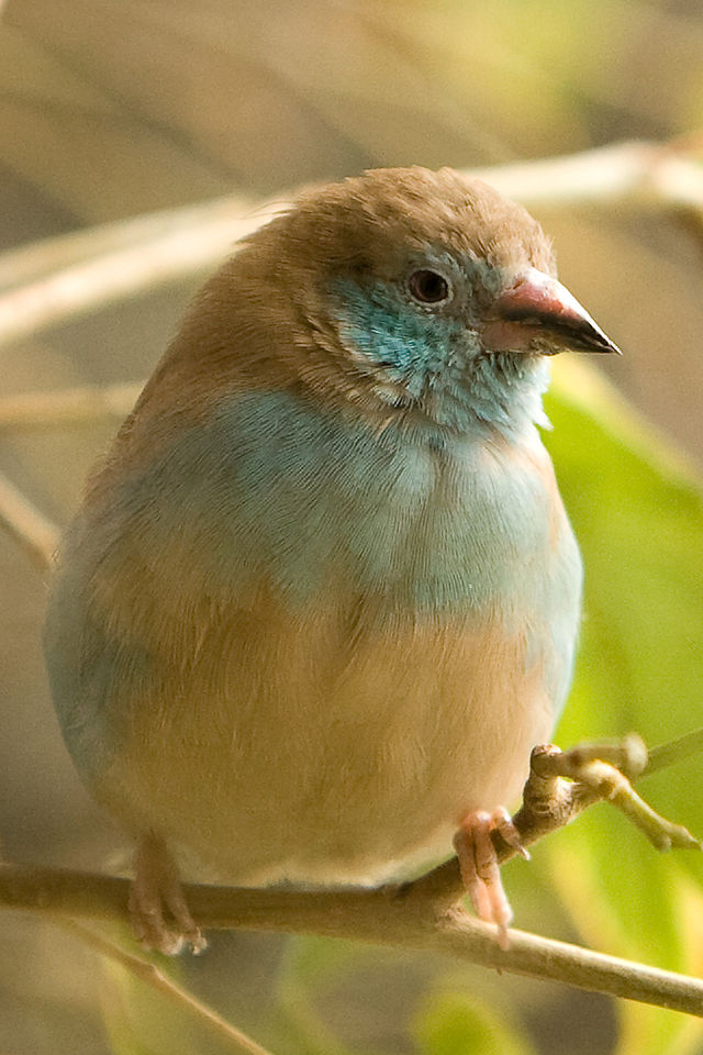 Living Jungle | Red-Cheeked Cordon-Bleu Finch