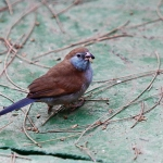 Red-Cheeked Cordon-Bleu Finch5