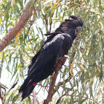 Red Tailed Black Cockatoo2