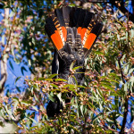 Red Tailed Black Cockatoo4