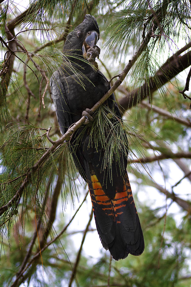 Red Tailed Black Cockatoo6