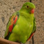 Red-Winged Parrot Parakeet2