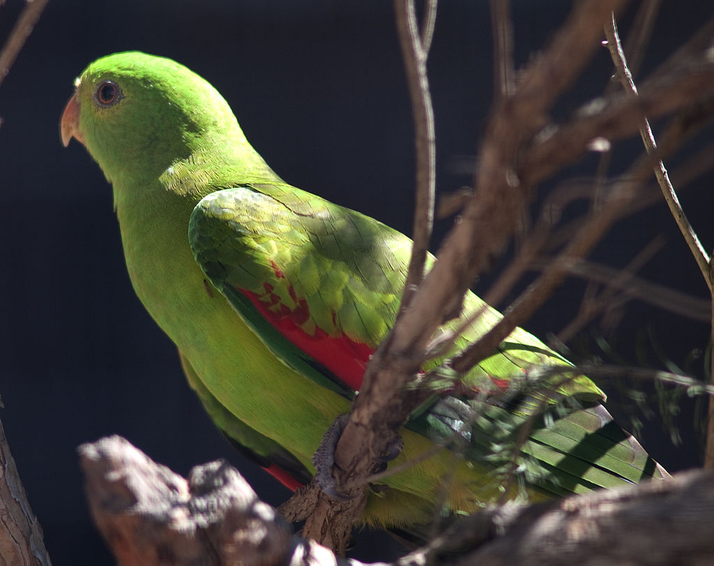 Red-Winged Parrot Parakeet3