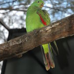 Red-Winged Parrot Parakeet4
