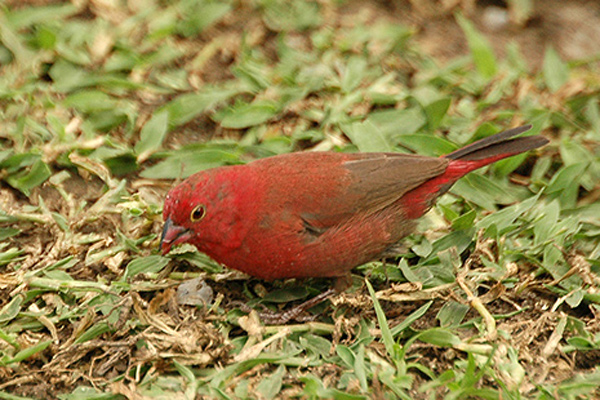 Red-billed Firefinch Ruddy
