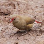 Red-billed Firefinch Ruddy2