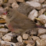 Red-billed Firefinch Ruddy3
