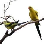 Regent Parrot Parakeet