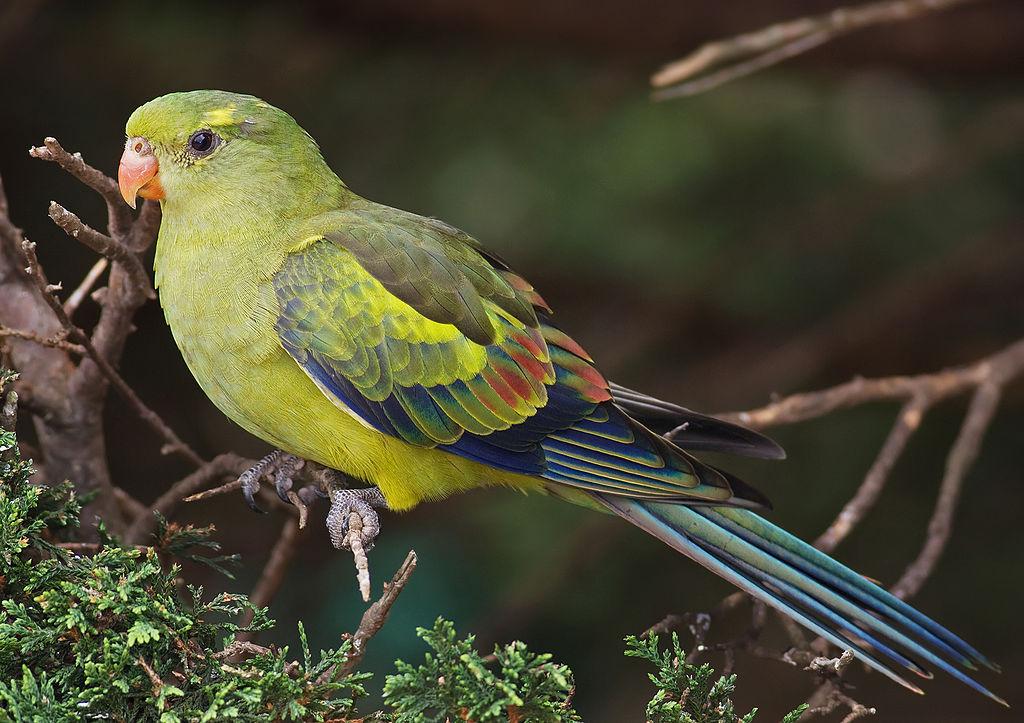 Regent Parrot Parakeet2