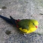Regent Parrot Parakeet3
