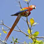 Scarlet Macaw Parrot Parakeet