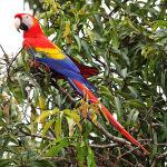 Scarlet Macaw Parrot Parakeet2