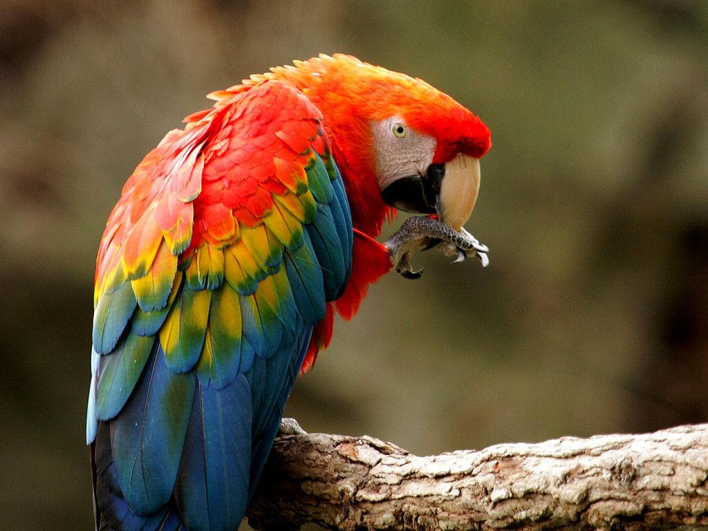 Scarlet Macaw Parrot Parakeet3