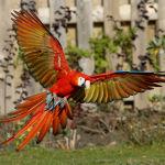 Scarlet Macaw Parrot Parakeet4